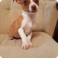Adopt A Pet :: Tinsel - West Springfield, MA