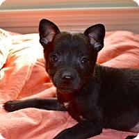 Adopt A Pet :: Velma - Huntsville, AL