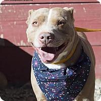 Pit Bull Terrier Mix Dog for adoption in Seattle, Washington - Hertz