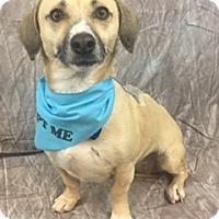 Adopt A Pet :: Douglas - Lake Elsinore, CA