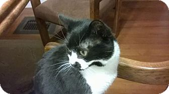 Domestic Shorthair Cat for adoption in Wakefield, Massachusetts - Zuma