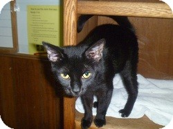 Domestic Shorthair Cat for adoption in Hamburg, New York - Maura