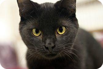 Domestic Shorthair Kitten for adoption in london, Ontario - Zack
