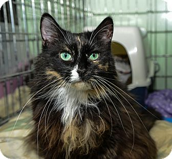 Domestic Longhair Cat for adoption in New York, New York - Shiloh