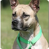 American Staffordshire Terrier Mix Dog for adoption in North Fort Myers, Florida - Dixie Belle Bishop