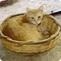 Domestic Mediumhair Cat for adoption in Miami, Florida - Merlin