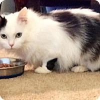 Adopt A Pet :: Cindy Crawford - Stafford, VA