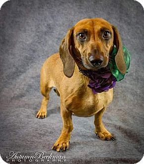 Dachshund Dog for adoption in Pearland, Texas - Jenna