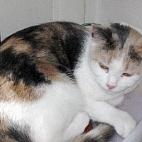 Calico Cat for adoption in Stanhope, New Jersey - Anita