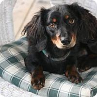 Adopt A Pet :: Britches - Beavercreek, OH