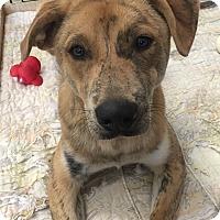 Adopt A Pet :: Hobbs - Nashville, TN