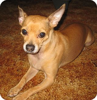 Chihuahua Dog for adoption in Dayton, Ohio - Ernest - Milwaukee