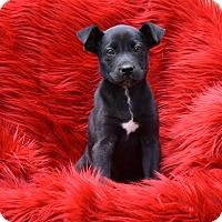Adopt A Pet :: Noa - Groton, MA