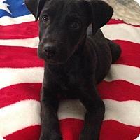 Adopt A Pet :: Sydney - Thousand Oaks, CA