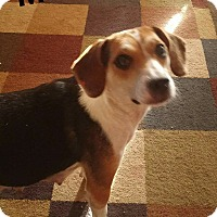 Beagle Mix Dog for adoption in Wyoming, Michigan - Momma Salt