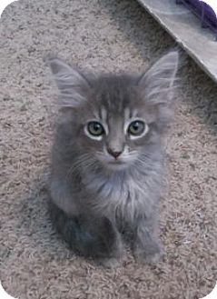 Domestic Mediumhair Kitten for adoption in San Jose, California - James