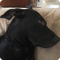 Adopt A Pet :: Nico (Black-Male) - Whitestone, NY