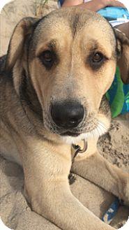 Shepherd (Unknown Type)/Shar Pei Mix Dog for adoption in Schaumburg, Illinois - Boomer-courtesy post