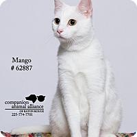 Domestic Shorthair Cat for adoption in Baton Rouge, Louisiana - Mango  (Foster)