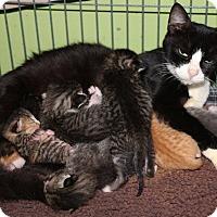 Adopt A Pet :: Tux - New Orleans, LA