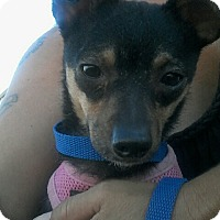 Chihuahua/Miniature Poodle Mix Dog for adoption in Apache Junction, Arizona - Mareda