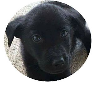 Labrador Retriever Mix Puppy for adoption in Burlington, Vermont - Phantom (has been adopted)