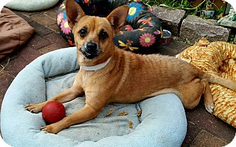 Shiba Inu Mix Dog for adoption in Andalusia, Pennsylvania - June