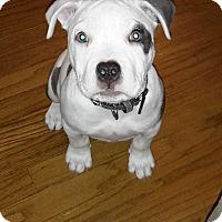 Adopt A Pet :: Haven - Livermore, CA