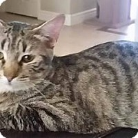 Domestic Shorthair Kitten for adoption in Gilbert, Arizona - Baloo