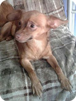 Terrier (Unknown Type, Medium)/Chihuahua Mix Dog for adoption in Columbia, Tennessee - Princess and Babette/TX