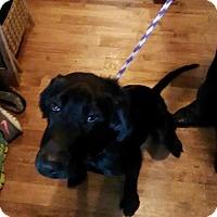 Adopt A Pet :: Musie - St Louis, MO