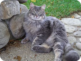 Maine Coon Cat for adoption in Thousand Oaks, California - Johnny