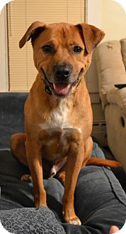 Labrador Retriever Mix Dog for adoption in kennebunkport, Maine - Bo - in Maine