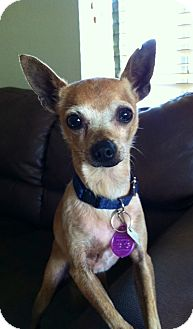 Chihuahua Dog for adoption in Irvine, California - MIKE