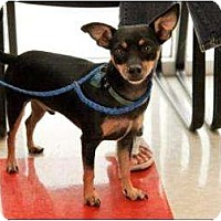 Chihuahua Dog for adoption in Garland, Texas - Peanut