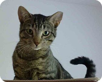 Domestic Shorthair Cat for adoption in Gaithersburg, Maryland - Stinker