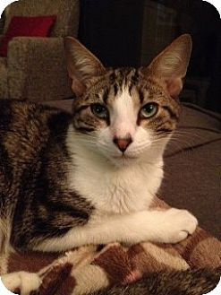 Domestic Shorthair Cat for adoption in Miami, Florida - Ziggy