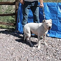 Adopt A Pet :: Mandi - Golden Valley, AZ