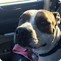 Adopt A Pet :: Cindy - Las Vegas, NV