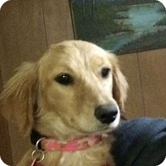 Labrador Retriever Mix Puppy for adoption in Evergreen, Colorado - Bristol