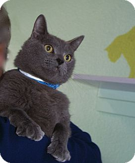 American Shorthair Cat for adoption in Englewood, Florida - Boots