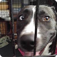 Adopt A Pet :: Hazel - Jarrell, TX