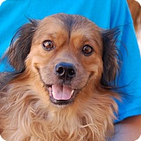 Spaniel (Unknown Type) Mix Dog for adoption in Las Vegas, Nevada - Jerry