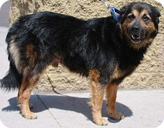 German Shepherd Dog/Australian Shepherd Mix Dog for adoption in Gilbert, Arizona - Bear