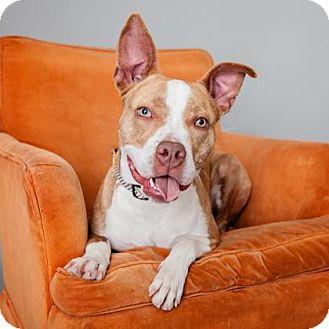 American Staffordshire Terrier Mix Dog for adoption in Mission Hills, California - Alyssa