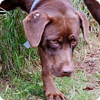 Adopt A Pet :: Gunner - Salem, WV