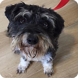 Schnauzer (Miniature)/Shih Tzu Mix Dog for adoption in Redondo Beach, California - Eric