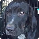 Adopt A Pet :: Ratchet