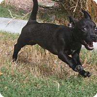 Adopt A Pet :: Hermione - Henderson, NV