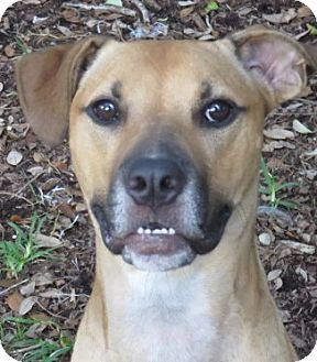 Black Mouth Cur/Labrador Retriever Mix Dog for adoption in St Petersburg, Florida - RooRoo ~ Video Social Outcast